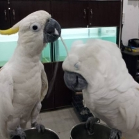 fully-tame-and-healthy-parrots-available-whatsapp-12486625079-macaws-islamabad