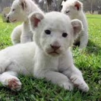 young-exotics-cubs-available-male-and-female-lion-tiger-cheetah-leopard-etc-bengal-islamabad-5