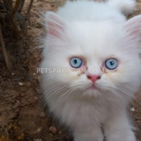 Pets Pakistan - pets for sale in Pakistan - animals for sale