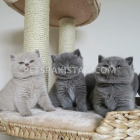 british-blue-shorthair-kitten-american-shorthairs-amangarh-industrial-area
