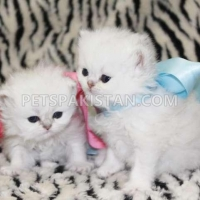 white-persian-kittens-for-sale-persian-cats-bahrain