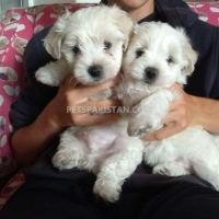 awesome-t-cup-maltese-puppies-available-maltese-ahmadabad
