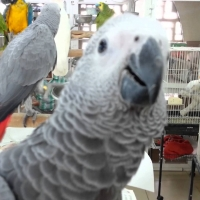 a-pair-of-talking-african-grey-parrots-african-grey-parrot-islamabad