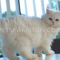 persian-doll-face-female-persian-cats-karachi