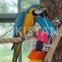 blue-gold-macaw-available-now-red-rumps-abdul-hakim