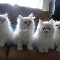 adorable-white-persian-kittens-persian-cats-islamabad