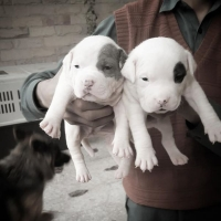 pittbull-pups-other-islamabad