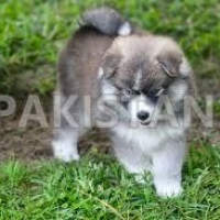 pomsky-puppies-ready-to-be-re-home-to-lovely-home-pomeranian-bahawalpur-cantt
