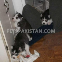 3-siberian-husky-puppies-other-lahore