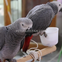 african-grey-cockatoo-macaws-amazons-elecdus-for-sale-whatsapp-12486625079-alexandrine-parrot-abbas-nagar