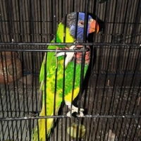 rainbow-lorikeet-for-sale-rainbow-lorikeet-islamabad