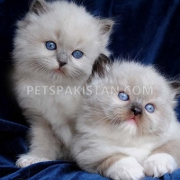white-persian-kittens-available-persian-cats-karachi
