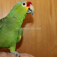 tamed-parrots-for-sale-whatsapp-12486625079-amazon-parrots-rawalpindi