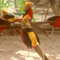 red-golden-pheasant-golden-pheasant-sahiwal