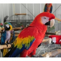 green-wing-macaw-parrot-babies-on-sale-cockatoos-karachi