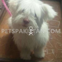 Dogs For Sale In Pakistan Shih Tzu For Sale In Pakistan Animals
