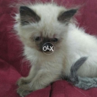 chocolate-point-himalayan-kittens-himalayan-lahore