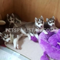 male-and-female-blue-eyes-siberian-husky-puppies-for-adoption-other-karachi