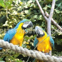 adorable-and-talkative-blue-and-gold-macaw-parrots-macaws-chelhar