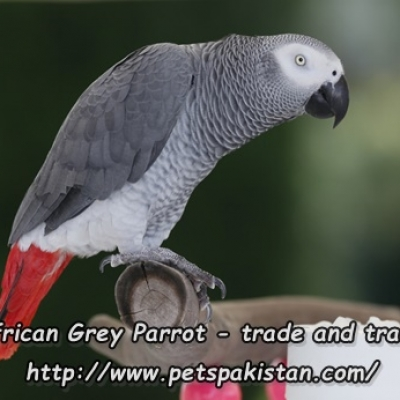 African Grey Parrot trade and traffic