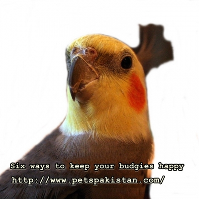 Six ways to keep your budgies happy
