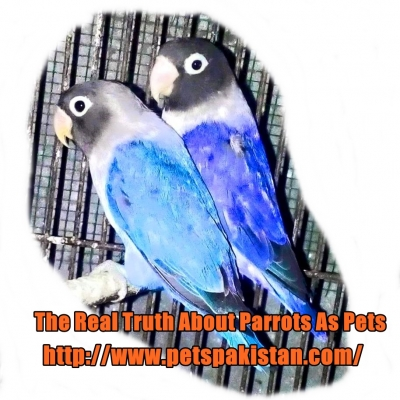 The Real Truth About Parrots As Pets