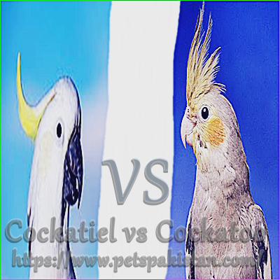 Cockatiel vs Cockatoo