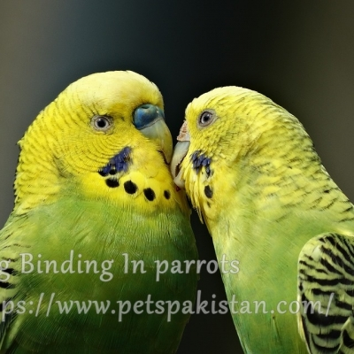 Egg Binding In parrots